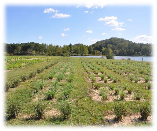 switchgrass field study